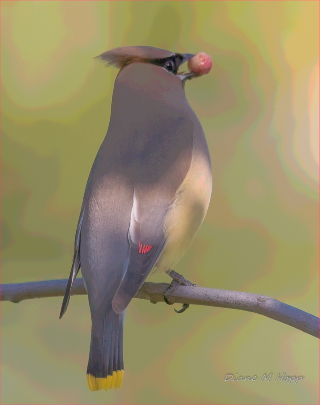 Waxwing with Posterized Background - DMHopp