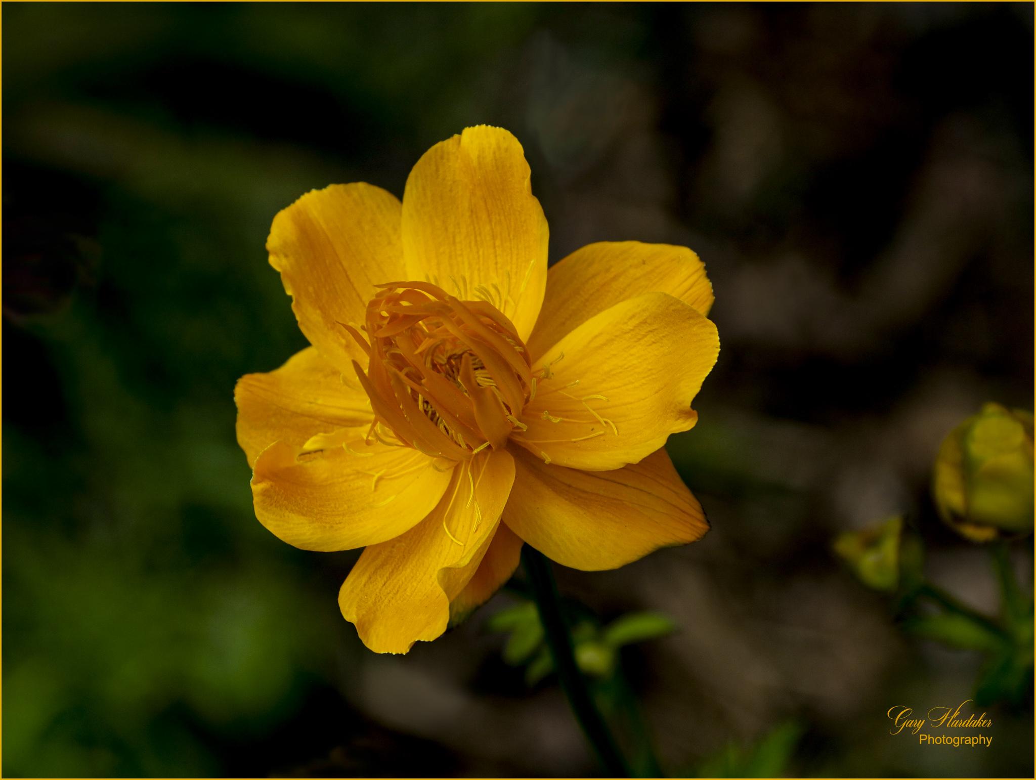 Yellow Cosmos- Gary Hardaker