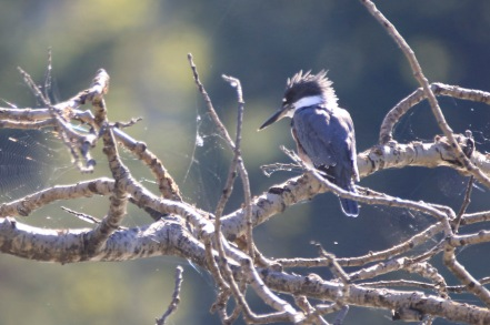 Belted Kingfisher - Doug Boyce