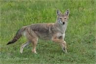 Coyote-2904 © Gloria Melnychuk - Cariboo