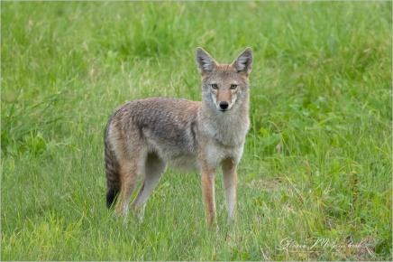 Coyote-2915 © Gloria Melnychuk - Cariboo