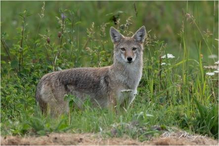 Coyote-2936 © Gloria Melnychuk - Cariboo