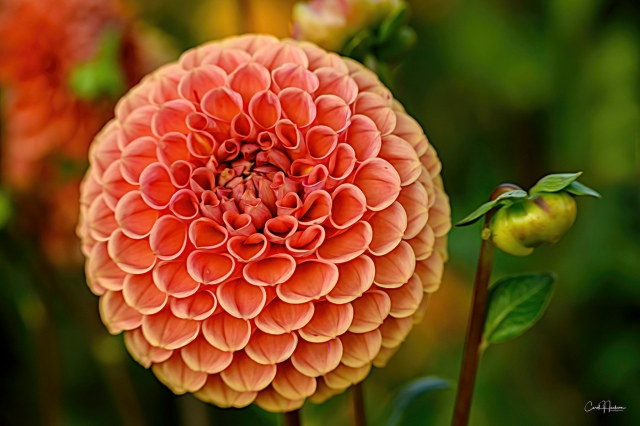 Dahlia Perfection
