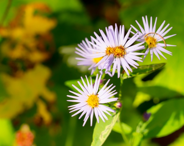 Asters, Eakin Creek Rd - Derek Chambers