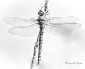 Dragonfly - Diane Hopp