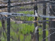 greater yellow legs in the burnt pond - Nancy Cunningham