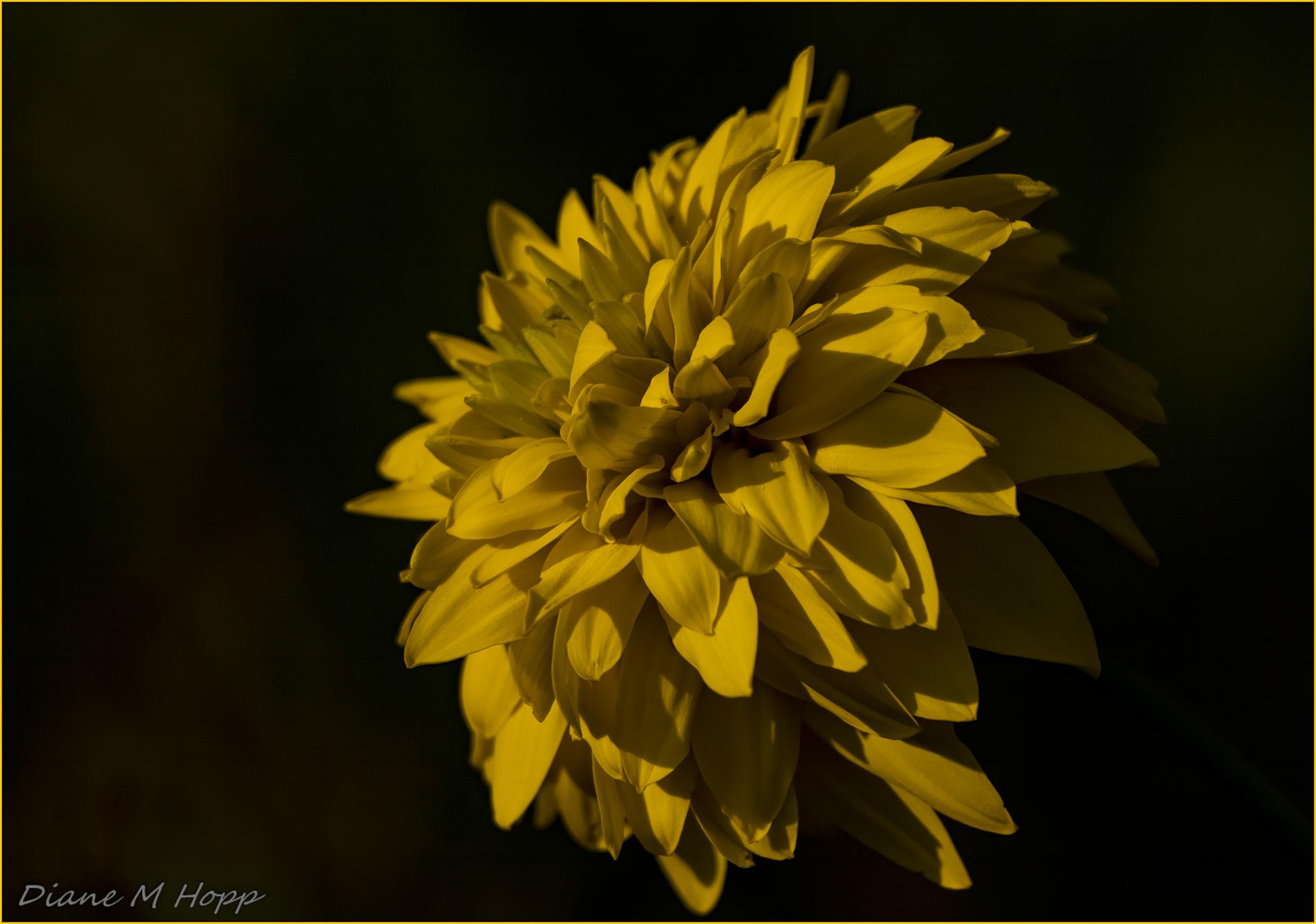 Heliopsis - DMHopp