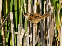 marsh wren - Nancy Cunningham