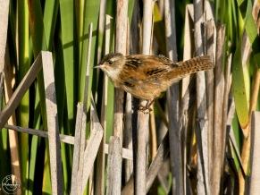 marsh wren - Nancy Cunningham
