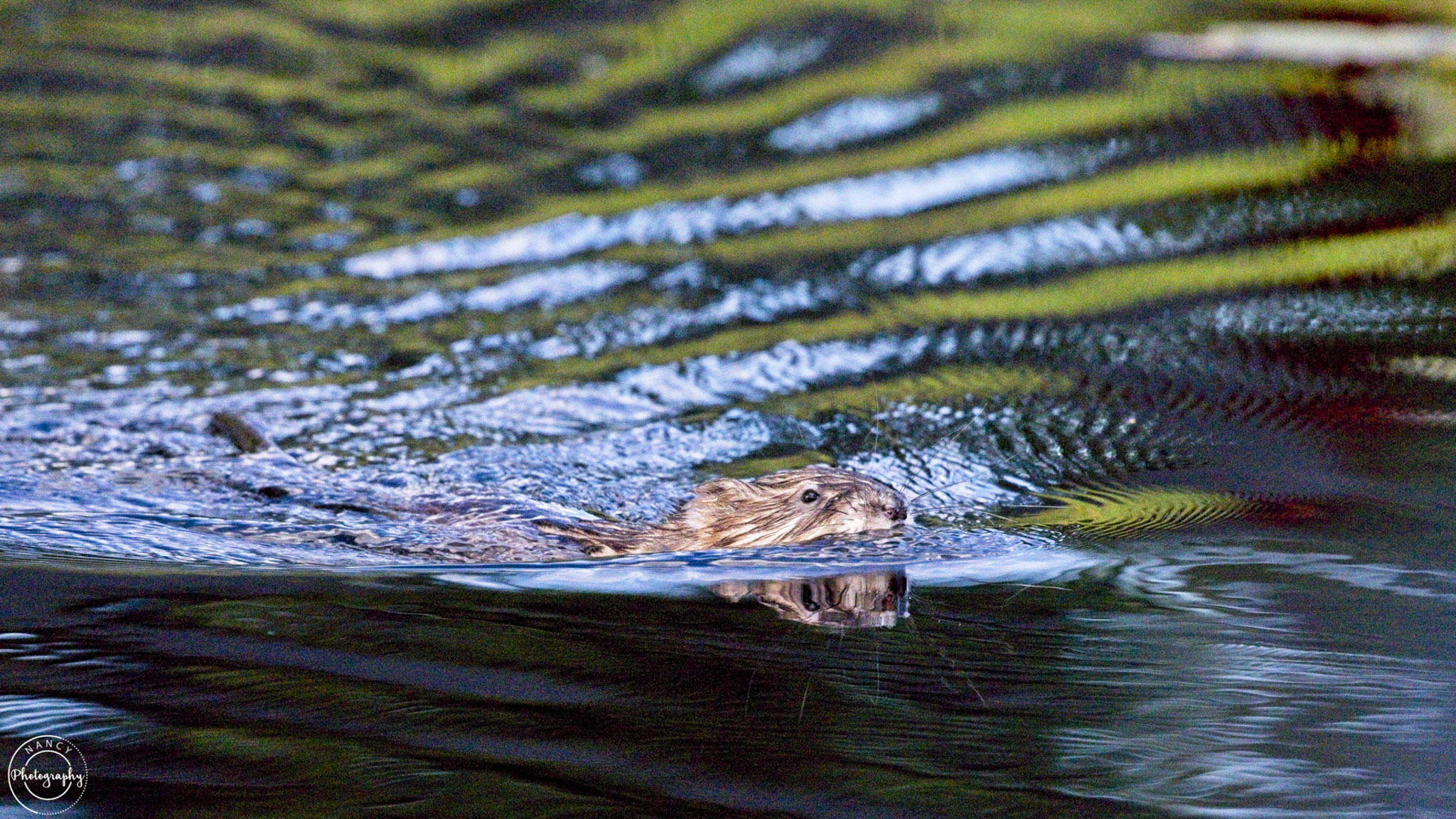 muskrat in the marsh - Nancy Cunningham