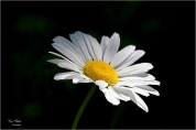 Oxeye Daisy 1-Gary Hardaker