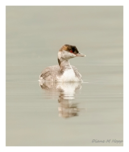Red-Necked Grebe in Winter Plumage - DMHopp