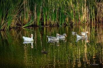 Reflections Gone Fowl
