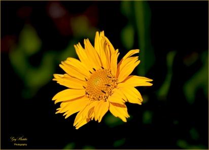 Sawtooth Sunflower 1- Gary Hardaker