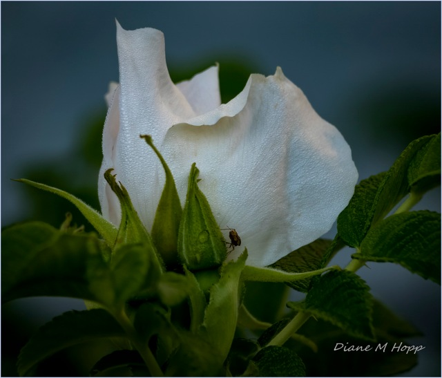 White Rose - DMHopp
