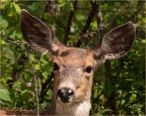 Who Me-1821 © Gloria Melnychuk - Mule Deer in Cariboo