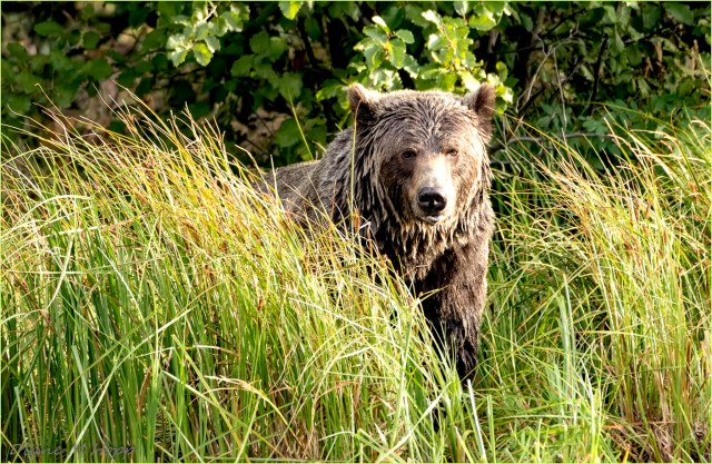 Bear in the Grass - DMHopp