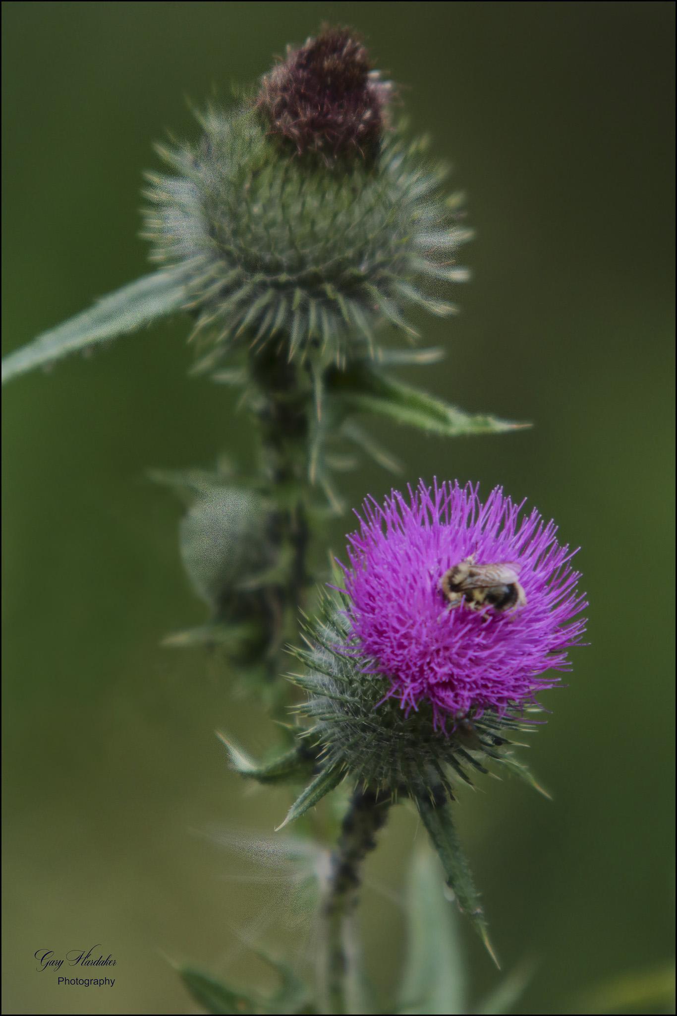 Bee on Scottish Thistle - Gary Hardaker