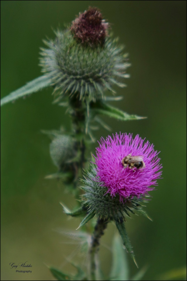 Bee on Scottish Thistle - Gary Hardaker