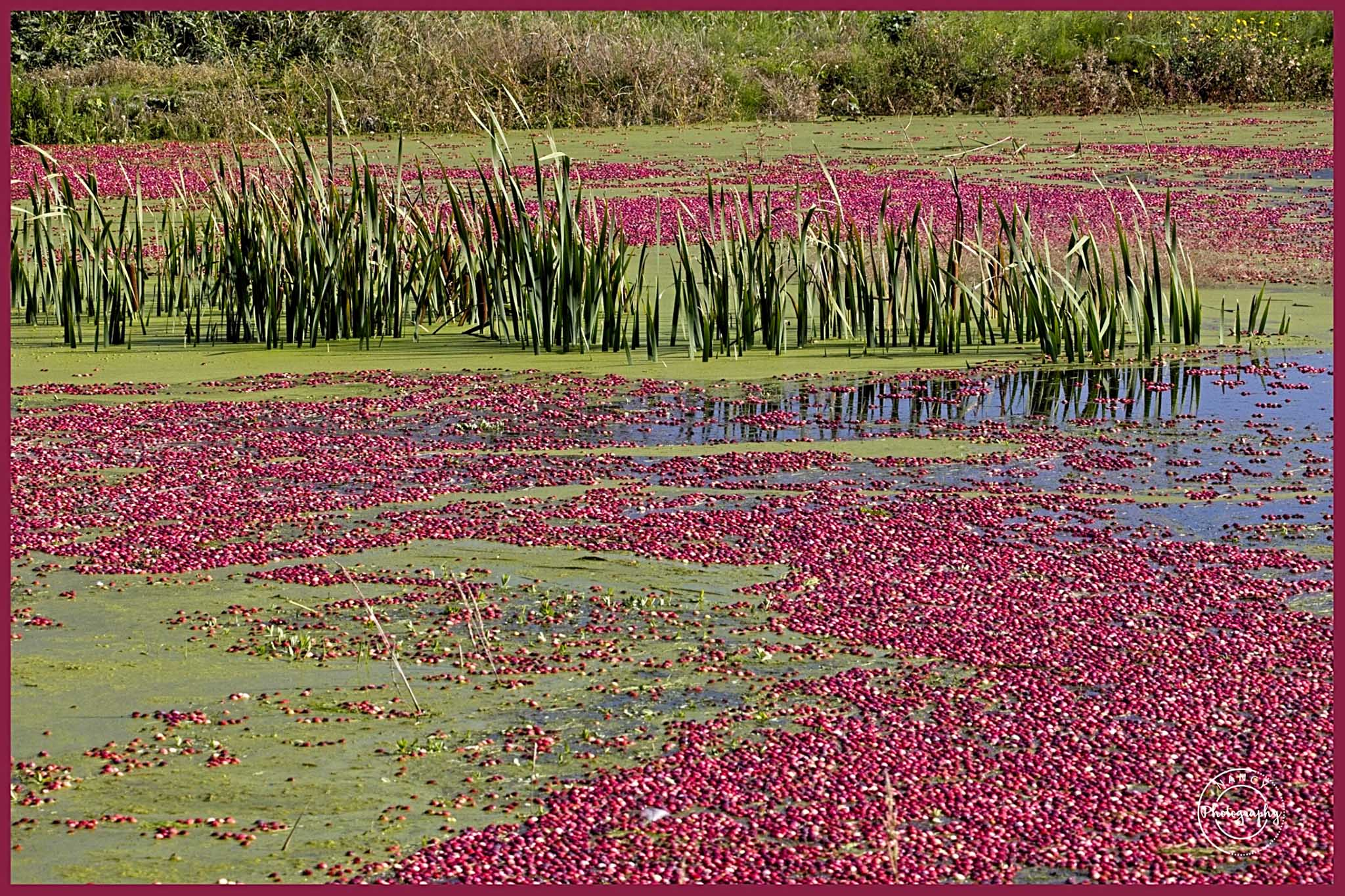 cranberry harvest - Nancy Cunningham