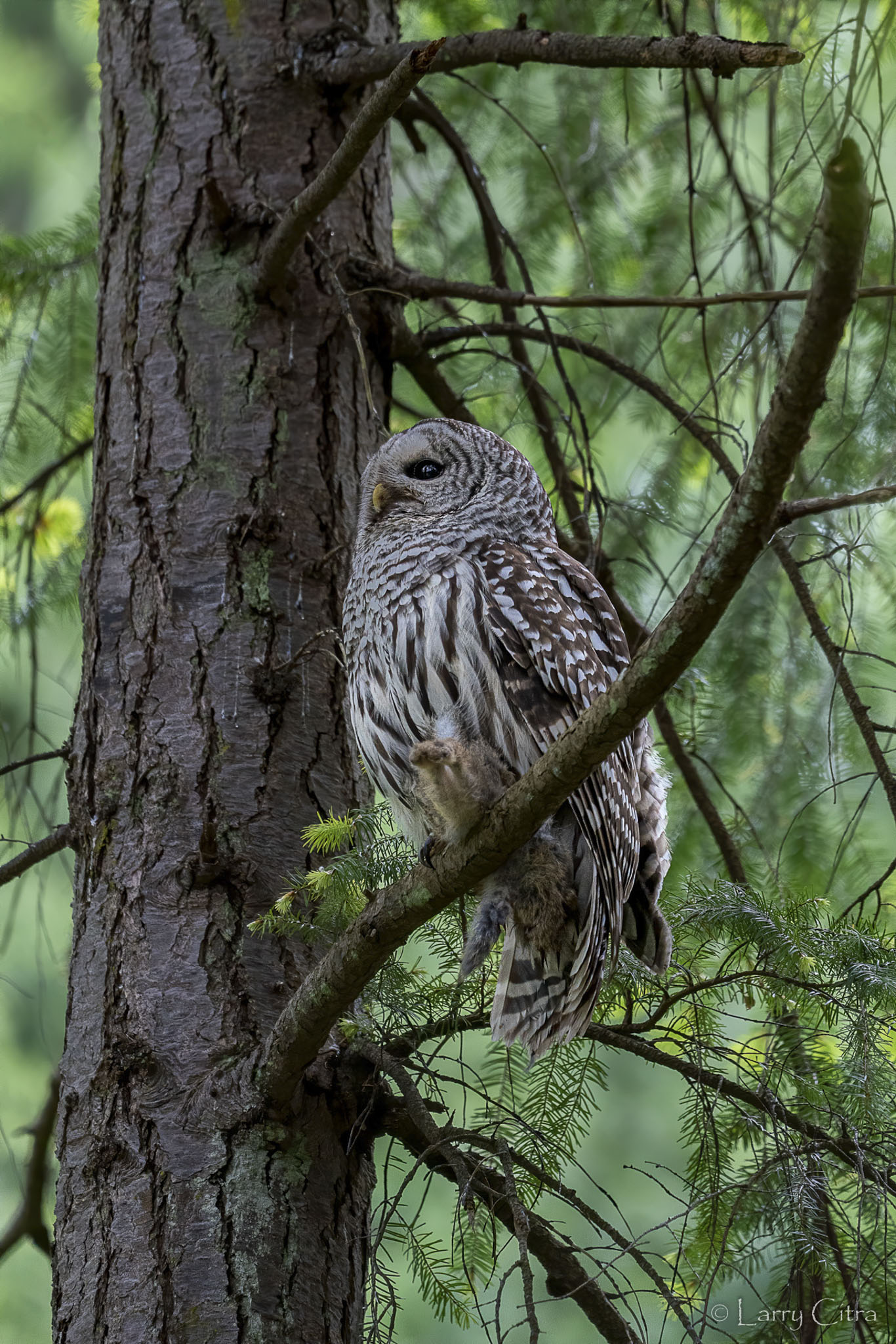 Adult Barred Owl © Larry Citra