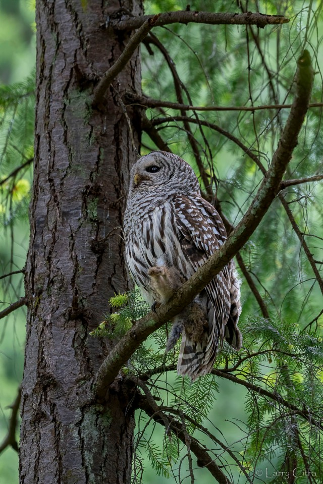Adult Barred Owl © Larry Citra