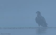 Eagle in the Fog - Diane Hopp