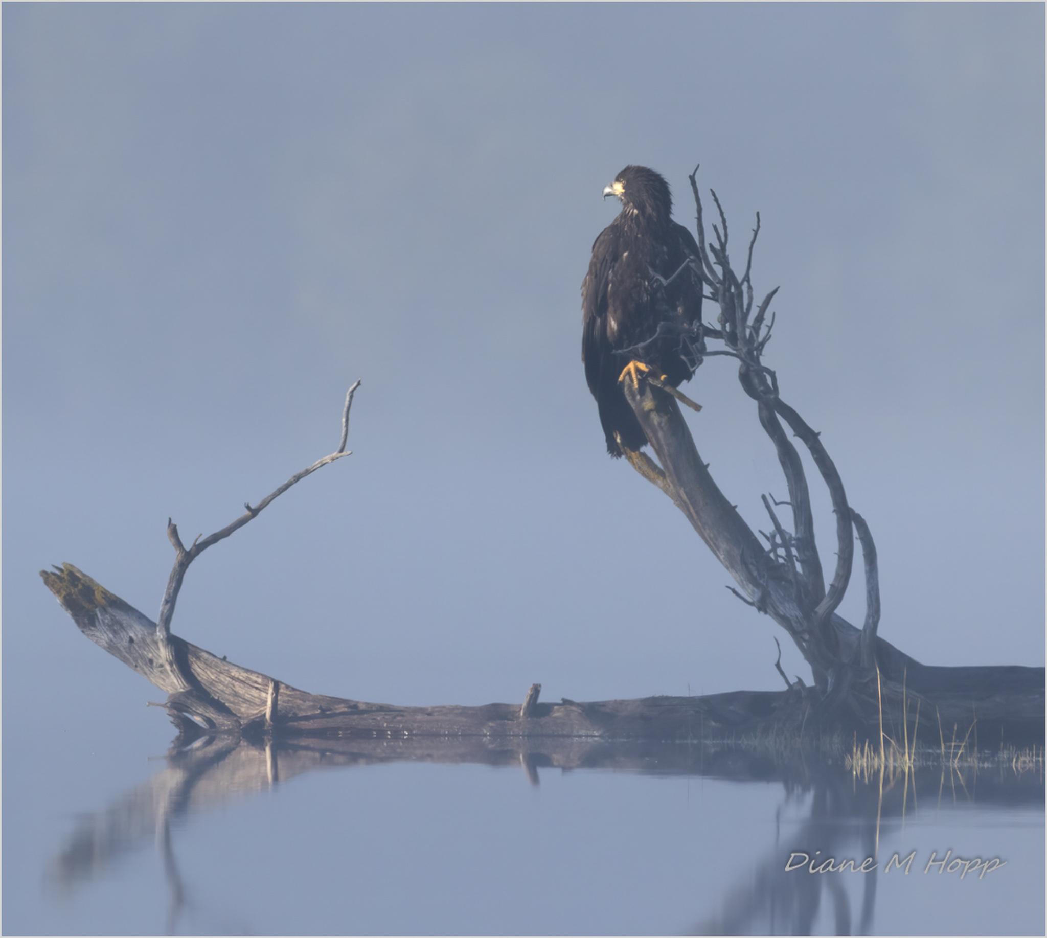 Eagle Reflections -DMHopp