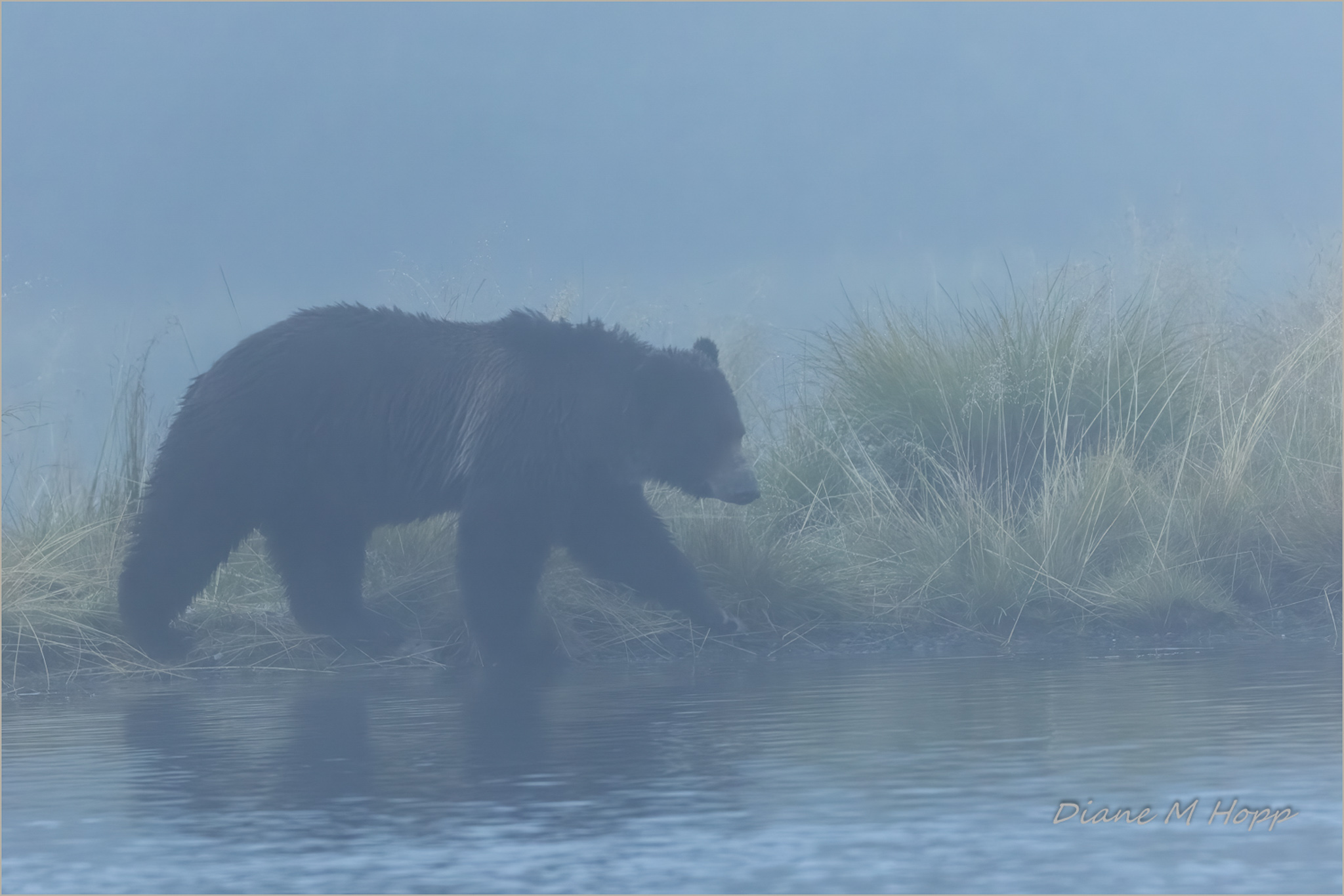 Early Morning Grizzly DMHopp