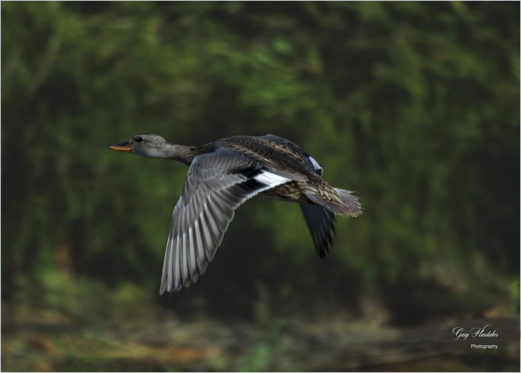 Female Gadwall in flight- Gary Hardaker