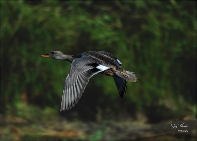 Female Gadwall in flight- Gary Hardaker