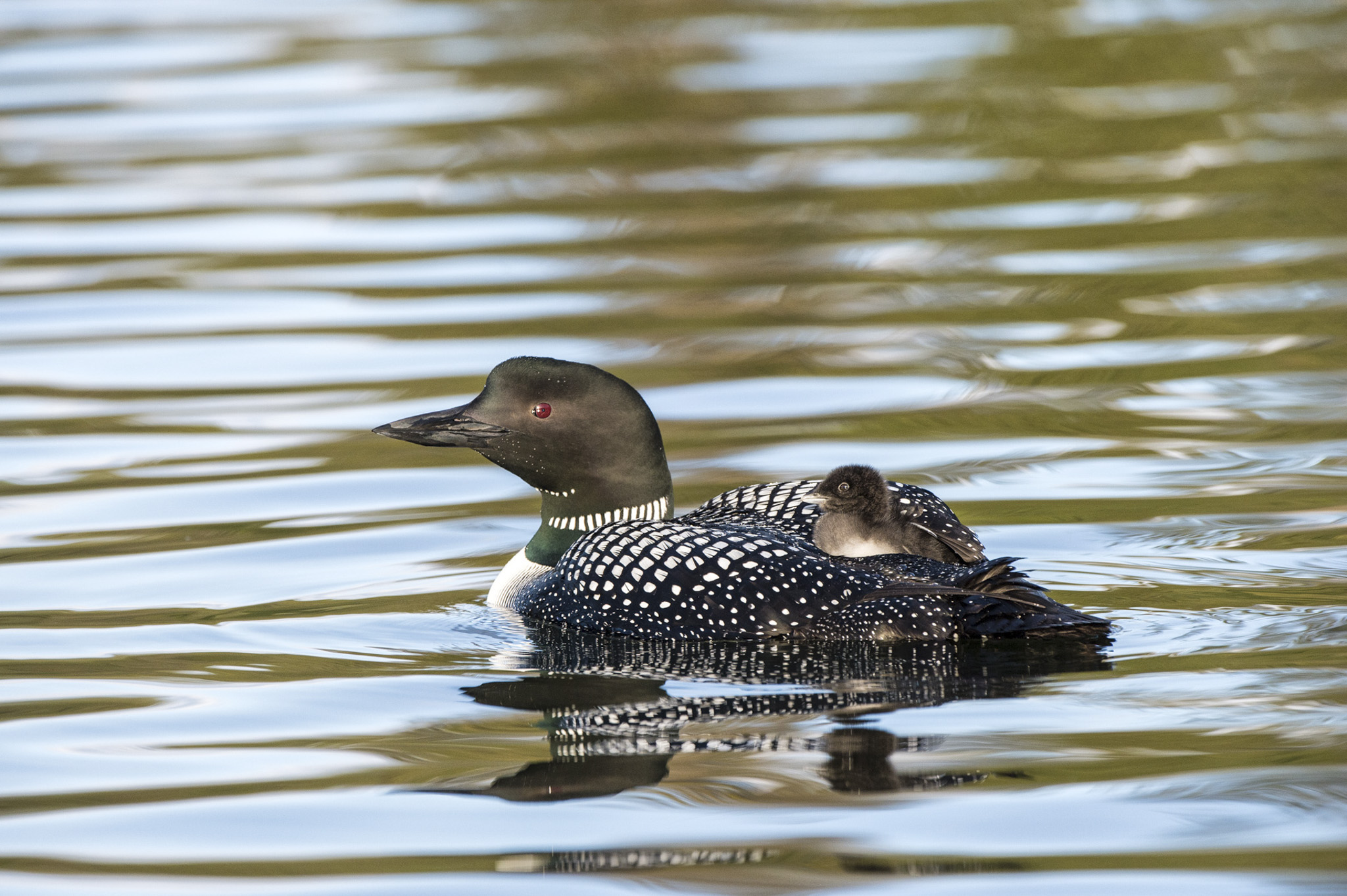 Loon and Chick © Larry Citra
