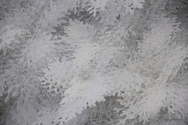 Dusty Miller - Monika Paterson