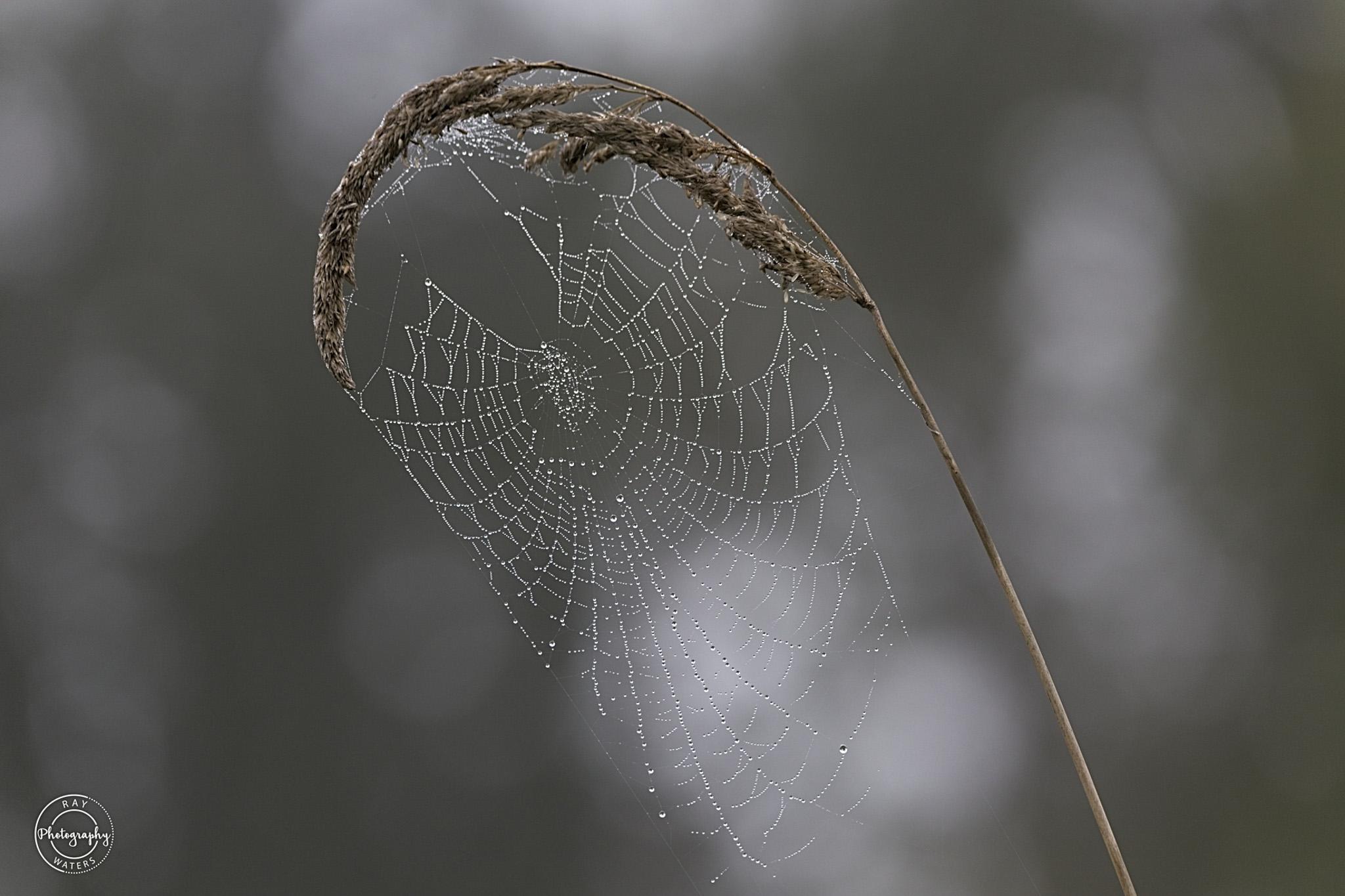 Soaking Web Ray Waters