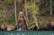 Grizzly Mom and Cubs at Tsylos - DMHopp