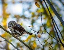 Northern Pygmy Owl - Carol Jackson