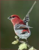Diane Hopp - About to Fly - Male Pine Grosbeak