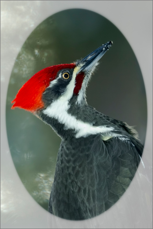 Diane Hopp - Portrait of a Pileated