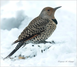 DMHopp - Red-shafted Northern Flicker in the Snow3