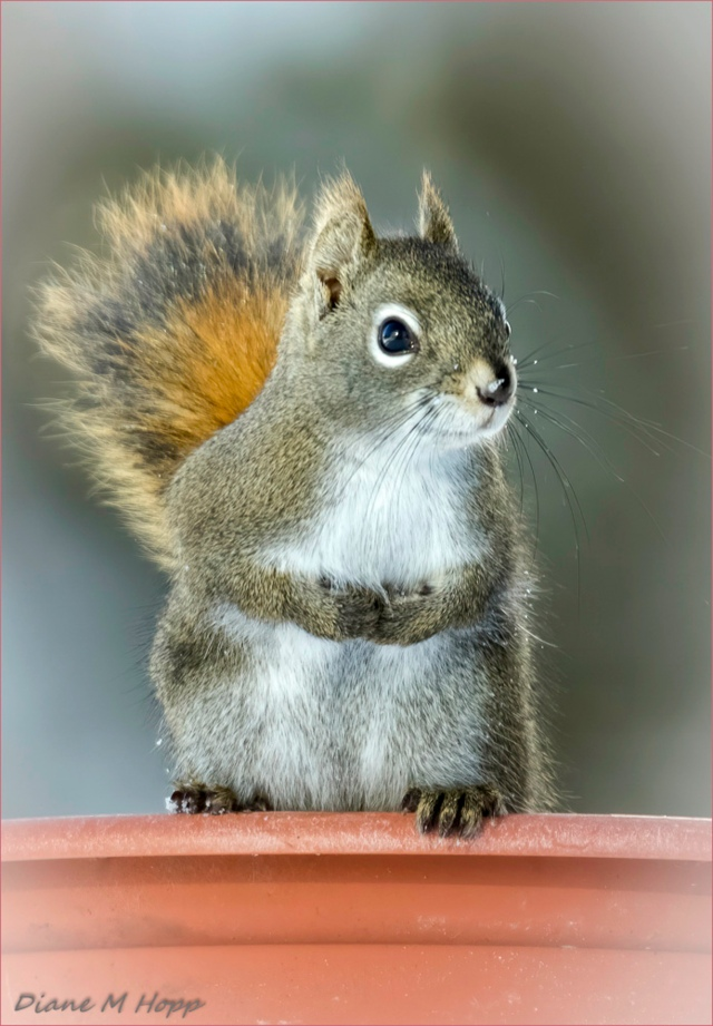 Diane Hopp - Squirrrel Guarding the Birdfeeder