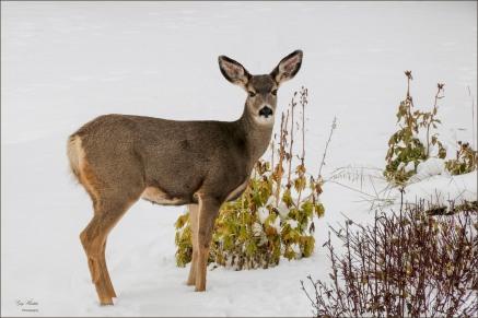 Gary Hardaker-Deer in Front Garden
