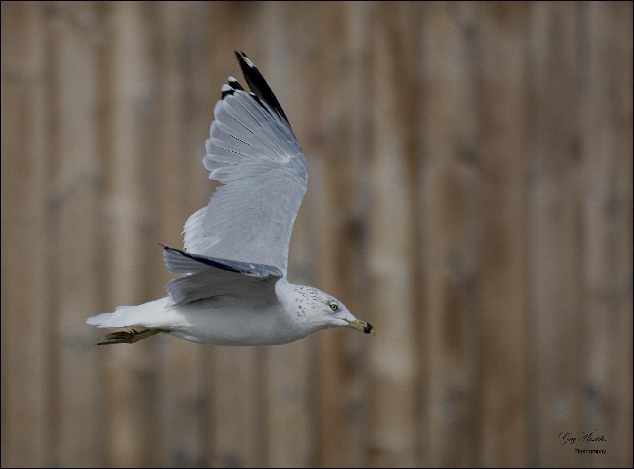 Gary Hardaker-Gull on take-off