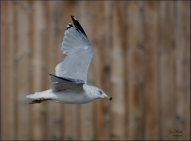 Gary Hardaker-Gull on take-off
