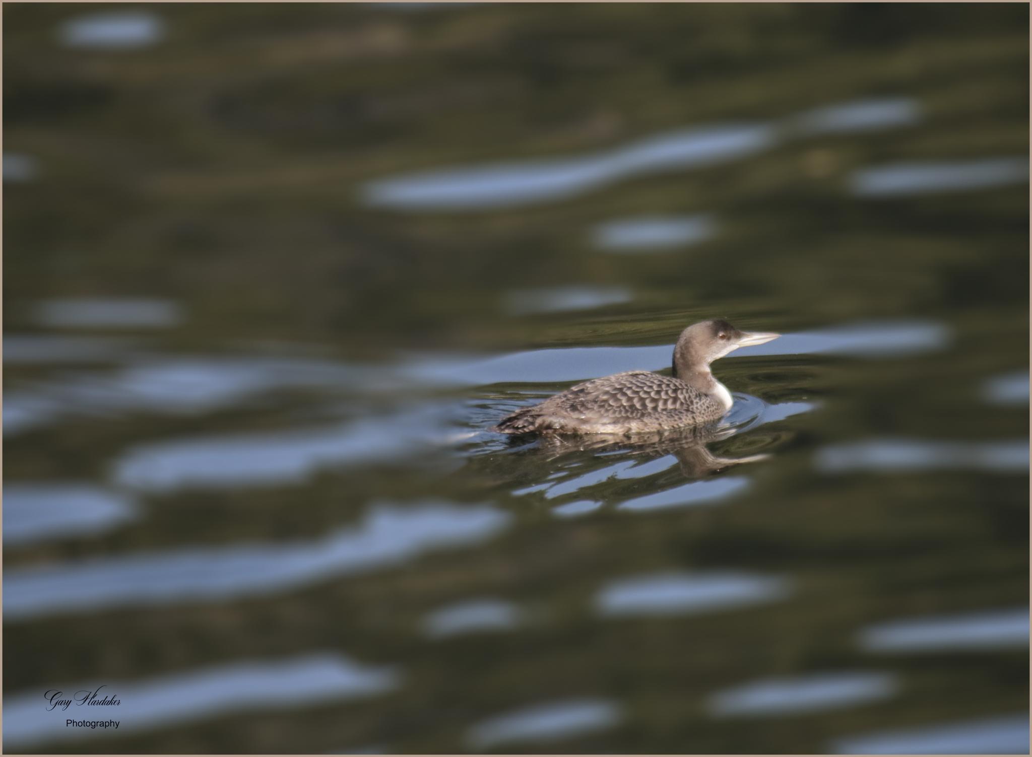 Common Loon (non-breeding plumage) - Gary Hardaker