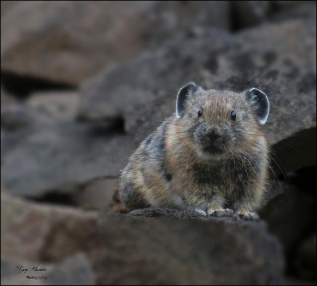 Mountain Vole- Missezula Lake  - Gary Hardaker