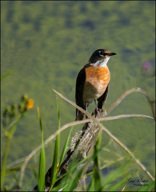 Orange breasted songbird (Saskatchewan) - Gary Hardaker