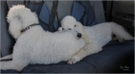 Poodle Puppy's Pillow - Gary Hardaker