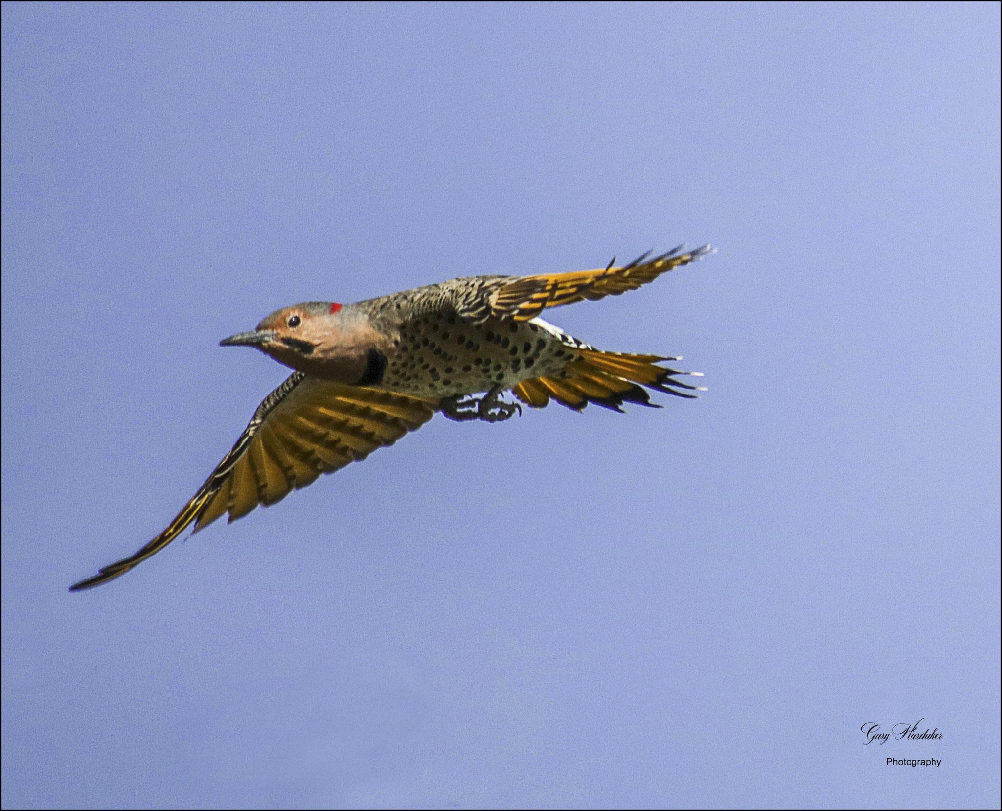 Yellow-Shafted Flicker in Flight - Gary Hardaker