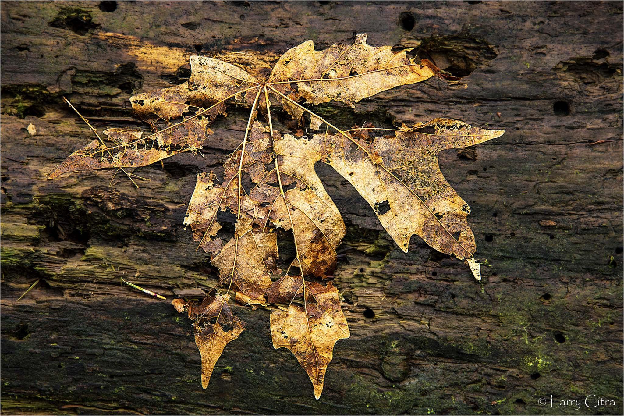 Larry Citra © Maple Leaf Skeleton