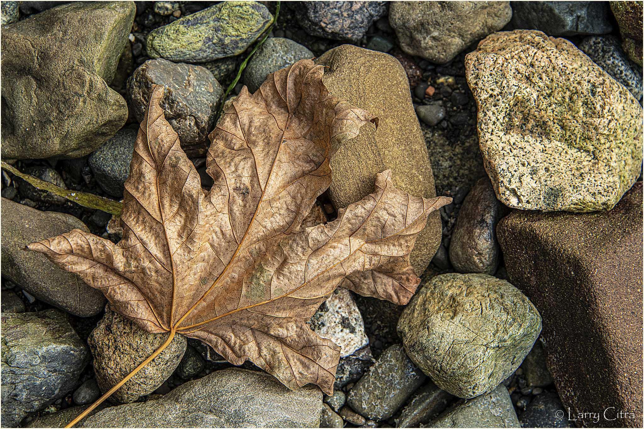 Maple Leaf on Beach